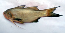 Image of Filimanus heptadactyla (Sevenfinger threadfin)