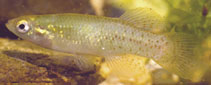 Image of Fundulus chrysotus (Golden topminnow)