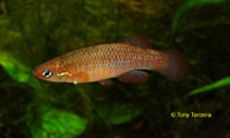 Image of Fundulus rubrifrons (Redface topminnow)