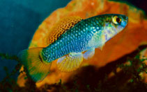 Image of Garmanella pulchra (Yucatan flagfish)