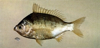 Image of Gerres japonicus (Japanese silver-biddy)