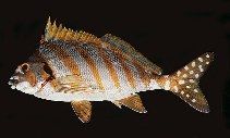 Image of Cheilodactylus zonatus (Spottedtail morwong)
