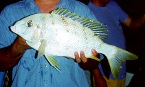 Image of Gymnocranius audleyi (Collared large-eye bream)