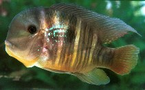 Image of Gymnogeophagus balzanii (Argentine humphead)