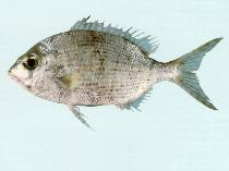Image of Gymnocranius elongatus (Forktail large-eye bream)