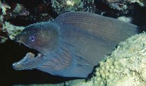 Image of Gymnothorax hepaticus (Liver-colored moray eel)