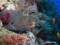 Image of Gymnothorax javanicus (Giant moray)