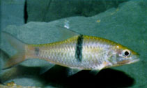 Image of Hampala macrolepidota (Hampala barb)