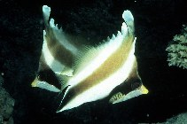 Image of Heniochus chrysostomus (Threeband pennantfish)