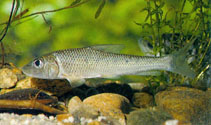 Image of Hemibarbus labeo (Barbel steed)