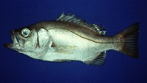 Image of Hemilutjanus macrophthalmos (Grape-eye seabass)