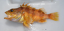 Image of Helicolenus percoides (Red gurnard perch)