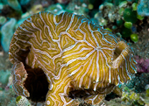 Image of Histiophryne psychedelica (Psychedelic frogfish)