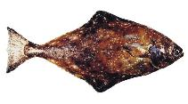 Image of Hippoglossus stenolepis (Pacific halibut)