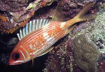 Image of Holocentrus rufus (Longspine squirrelfish)
