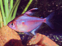 Image of Hyphessobrycon erythrostigma (Bleeding-heart tetra)