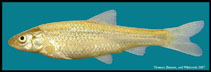 Image of Hybognathus placitus (Plains minnow)