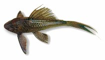 Image of Hypostomus plecostomus (Suckermouth catfish)
