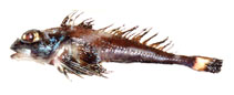 Image of Icelus perminovi (Scaly-belly sculpin)