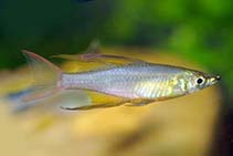 Image of Iriatherina werneri (Threadfin rainbowfish)