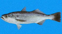 Image of Isopisthus remifer (Silver weakfish)
