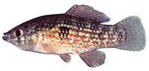 Image of Jordanella floridae (Flagfish)