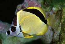 Image of Johnrandallia nigrirostris (Blacknosed butterflyfish)