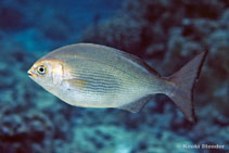 Image of Kyphosus hawaiiensis (Hawaiian chub)