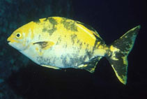 Image of Kyphosus lutescens (Revillagigedo sea chub)