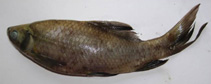 Image of Labeo fimbriatus (Fringed-lipped peninsula carp)