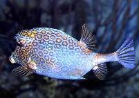 Image of Acanthostracion polygonius (Honeycomb cowfish)