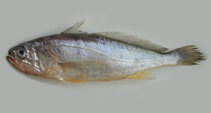Image of Larimichthys polyactis (Yellow croaker)