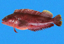Image of Labrisomus socorroensis (Misspelled blenny)