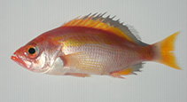 Image of Lepidoperca brochata (Fangtooth perch)