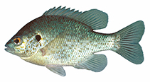 Image of Lepomis microlophus (Redear sunfish)