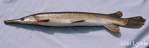Image of Lepisosteus platostomus (Shortnose gar)