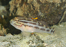 Image of Lophogobius cyprinoides (Crested goby)