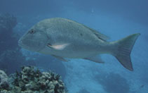 Image of Lutjanus analis (Mutton snapper)