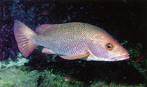 Image of Lutjanus argentimaculatus (Mangrove red snapper)