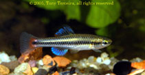 Image of Lucania goodei (Bluefin killifish)