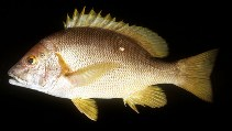 Image of Lutjanus stellatus (Star snapper)