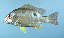 Image of Lutjanus synagris (Lane snapper)