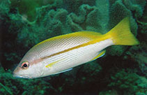 Image of Lutjanus vitta (Brownstripe red snapper)
