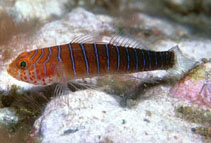 Image of Lythrypnus insularis (Distant goby)