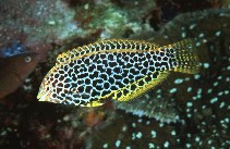 Image of Macropharyngodon meleagris (Blackspotted wrasse)