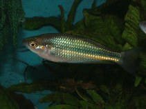 Image of Melanotaenia duboulayi (Crimsonspotted rainbowfish)