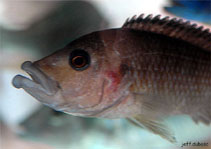 Image of Abactochromis labrosus