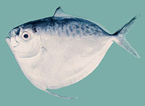 Image of Mene maculata (Moonfish)