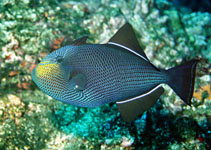 Image of Melichthys niger (Black triggerfish)