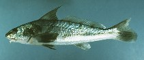 Image of Menticirrhus saxatilis (Northern kingfish)